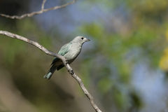 Sayacca tanager, Thraupis sayaca Royalty Free Stock Photos