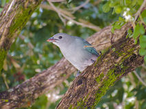 Sayaza Tanager. The sayaca tanager Thraupis sayaca is a species of bird in the family Thraupidae, the tanagers. It is a common resident in northeastern, central Royalty Free Stock Photo