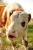 Says moo. Funny bull calf says 'moo', focus on eyes Stock Photo
