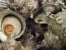 Sazae o cáscaras del turbante en una cesta foto de archivo