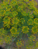 Sazone la naturaleza macra de la flor del amarillo del campo del jardín del prado del eneldo de la hierba de la flora del flor de Fotografía de archivo