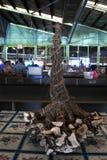 Sazone las raíces de la planta con pimienta para la venta en mercado del Fijian fotos de archivo libres de regalías