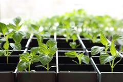Sazone los árboles jóvenes con pimienta que crecen en suelo de la turba en una caja contra la ventana imágenes de archivo libres de regalías