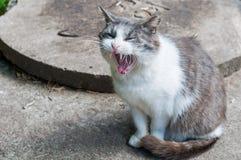 Sbadigli bianchi divertenti del gatto Fotografia Stock