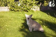 Sbadigli del gattino del gatto di soriano Immagini Stock