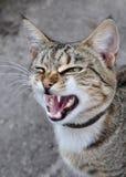 Sbadigli del gatto Immagini Stock
