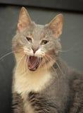 Sbadigli del gatto Fotografia Stock
