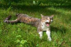 Sbadigli del gatto Fotografie Stock Libere da Diritti