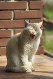 Sbadigli del gatto dello zenzero Immagini Stock