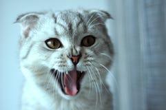 Sbadigli del gatto del popolare dello Scottish Immagine Stock Libera da Diritti