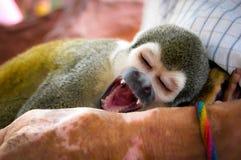 Sbadigli della scimmia Fotografia Stock Libera da Diritti