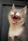 Sbadigli divertenti del gatto Immagini Stock