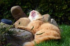Sbadigli divertenti del gatto Fotografia Stock