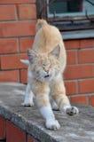 Sbadigli e sorsate del gatto Fotografia Stock