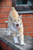 Sbadigli e sorsate del gatto le sue gambe Immagini Stock