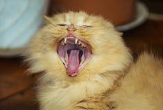Sbadigli rossi del gatto di grande bellezza Immagini Stock