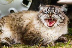 Sbadigli siberiani del gatto Fotografia Stock Libera da Diritti