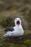 Sbadiglio Black-browed dell'albatro Fotografie Stock Libere da Diritti