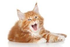 Sbadiglio del gattino di Maine Coon Immagini Stock