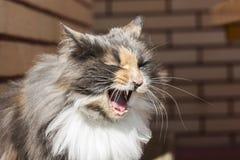 sbadiglio del gatto Fotografia Stock Libera da Diritti