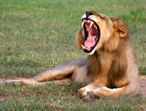 Sbadiglio del leone Immagine Stock