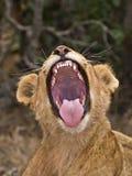 Lion Yawn Fotografie Stock