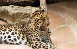 Sbadiglio del leopardo immagine stock libera da diritti