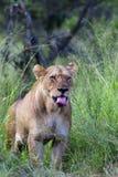 Sbadiglio del Lioness Immagini Stock Libere da Diritti
