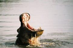 Sbadiglio dell'ippopotamo Fotografia Stock Libera da Diritti