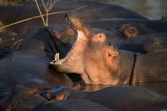 Sbadiglio dell'ippopotamo in Sudafrica St Lucia Immagini Stock