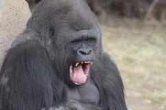 Sbadiglio della gorilla Fotografia Stock Libera da Diritti