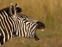Sbadiglio della zebra Fotografia Stock