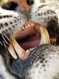 Sbadiglio delle tigri Fotografie Stock Libere da Diritti