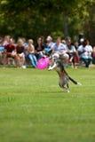 Sbarchi del cane dopo il salto per catturare Frisbee Immagine Stock
