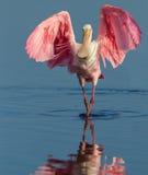 Sbarchi di spatola rosea con la diffusione delle ali Immagini Stock