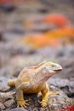 Sbarchi l'iguana Fotografia Stock Libera da Diritti