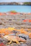 Sbarchi l'iguana Fotografie Stock Libere da Diritti