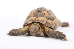 Sbarchi la tartaruga Immagine Stock Libera da Diritti