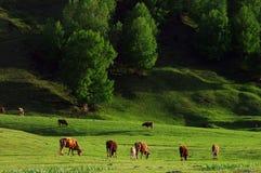 Sbarco dell'erba in Xinjiang Immagine Stock