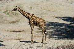 Sbarco della giraffa Fotografia Stock