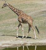 Sbarco della giraffa Immagine Stock