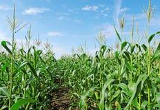 Sbarco verde di cereale. Fotografia Stock