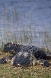 Sbattere le palpebre dell'alligatore americano Fotografie Stock Libere da Diritti