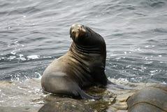 Sbattere le palpebre il leone di mare sulla roccia fotografie stock libere da diritti