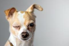 Sbattere le palpebre la chihuahua sembra dire ciao Fotografia Stock