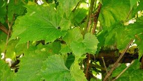 Sbattimento delle foglie dell'uva sul vento video d archivio