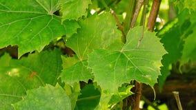 Sbattimento delle foglie dell'uva sul vento archivi video