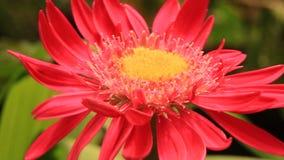 Sbattimento rosa dei fiori nel vento archivi video
