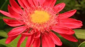 Sbattimento rosa dei fiori nel vento video d archivio