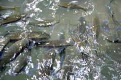 Sbavatura di Mahseer alla cascata Tailandia di Erawan immagine stock libera da diritti